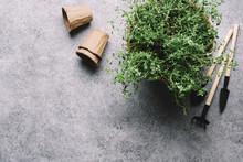 Fresh Thyme With Garden Suppli...