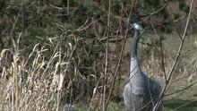Crane Bird Close Up In Tall Grass