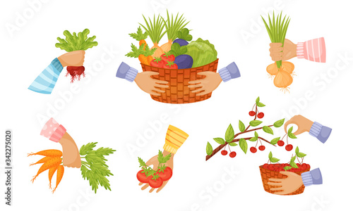 Obraz na płótnie Hands Holding and Picking Agricultural Crops Like Carrot and Tomato Vector Set