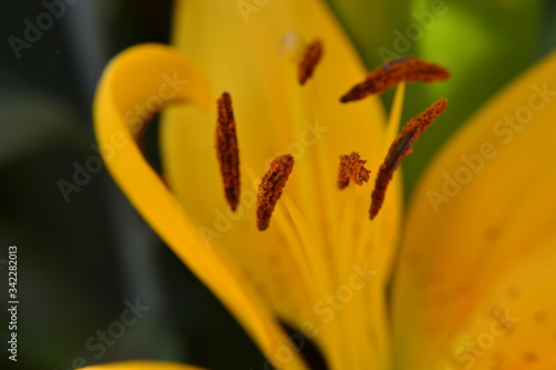 Photo close up of yellow lily with anther flower
