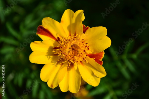 Photo close up of yellow flower on green background with anther flower on top