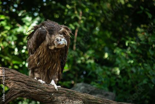Photo Cinereous Vulture