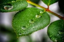 Macro Shot Of Raindrops On Green Leaves