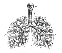 The Lungs Closer View In The O...