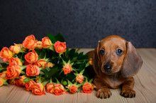 A Small Beautiful Young Dog Of Dachshund Breed Lies On A Wooden Textured Table And Looks Up And Next To It Is A Bouquet Of Roses. Studio, Black Background