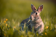Wild Rabbit In The Grass, Clos...