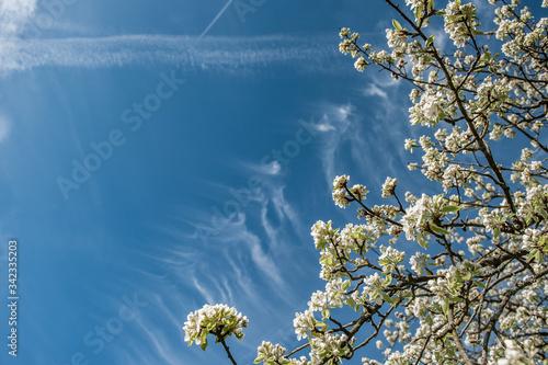 Billede på lærred Low Angle View Of Cherry Tree Against Blue Sky