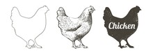 Chicken, Hen Bird. Poultry, Broiler, Farm Animal Feeding. Vintage Easter Card. Egg Packaging Design. Realistic Sketch, Line, Silhouette, Engraving Illustration.