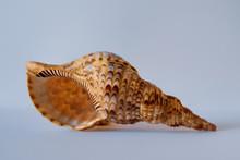 Triton Trumpet Shell. Pacific Triton. Charonia Tritonis L.