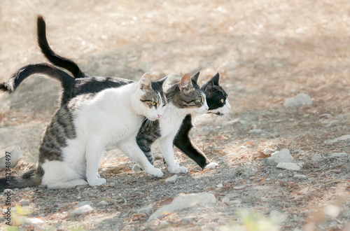 Photo Three bicolor cats standing close together, friendly kitties want to walk abrea