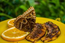 Morpho Peleides Butterfly Eati...
