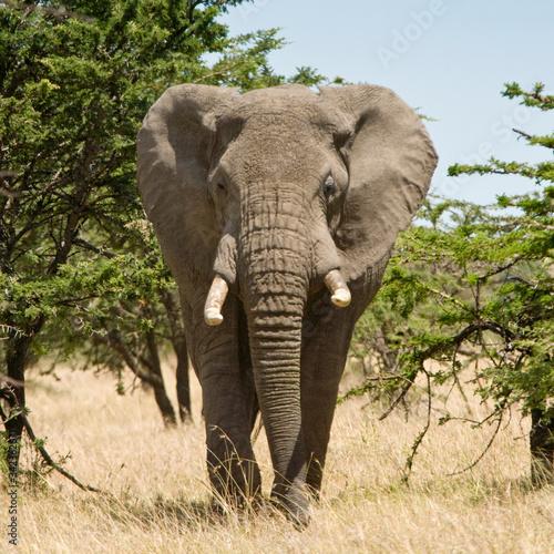 Photo African Elephant walking in the bush of the Maasai Mara, Kenya