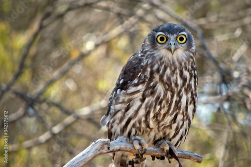 he barking owl is staring looking for predators Canvas Print