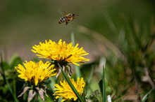 Dandelions In The Grass With A Friendly Bee