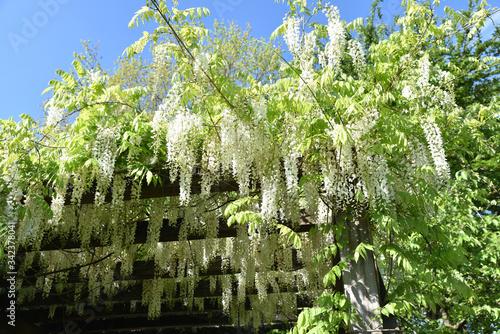 Glycine blanche au jardin au printemps Canvas Print