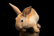 Cute red orange brown rex rabbit isolated on black background