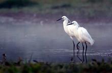 Little Egret (Egretta Egretta) Standing In Water Early Morning