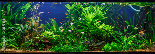 Photo A green beautiful planted tropical freshwater aquarium with fishes,zebra angelfi