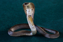 Indochinese Spitting Cobra, Th...