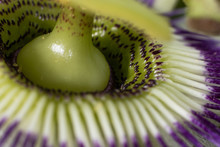 Macro Passion Fruit Flower In Nature