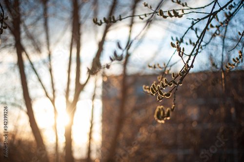 Photo branches of a tree with open buds at sunset in the backlight