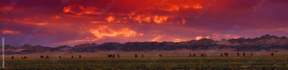Fototapeta Bactrian Camels on a pasture in Mongolia at sunset. Panorama of the pasture. Source of meat, milk and wool. Camel down, a favorite souvenir of tourists.