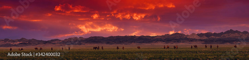 Obraz Bactrian Camels on a pasture in Mongolia at sunset. Panorama of the pasture. Source of meat, milk and wool. Camel down, a favorite souvenir of tourists. - fototapety do salonu
