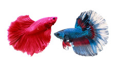 A Siamese Fighting Fish In Any...