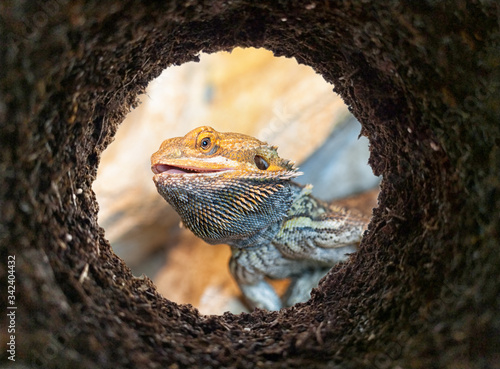 Photo Agama Pogona peeking into a dirt hole in the ground, view from underground