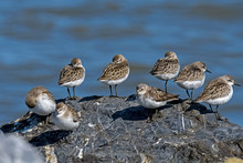 Semipalmated Sandpipers On A Rock Along The Coast Of The Delaware Bay. It Is An Abundant Small Shorebird That Breeds In The Arctic And Winters Along The Coasts Of South America.