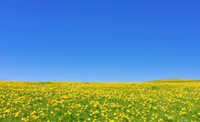Spring Meadow With Lots Of Yel...