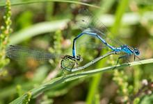 Azure Damselflies Mating On A Branch