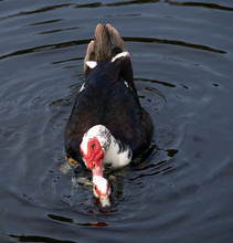 Two Muscovy Ducks With Black, White, And Brown Feathers And Red Face Patches, The Male's Being Larger And Bumpy, Are Mating In Dark Blue Water.