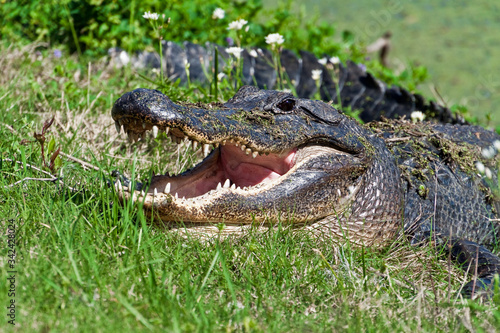 Photo Alligator (Alligator mississippiensis) With It's Jaws Agape on the Spillway Trai