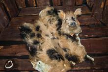 Wild Boar Hunting Trophy On Wall