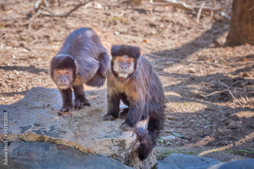 Fotografering Tufted capuchin, black-capped capuchin