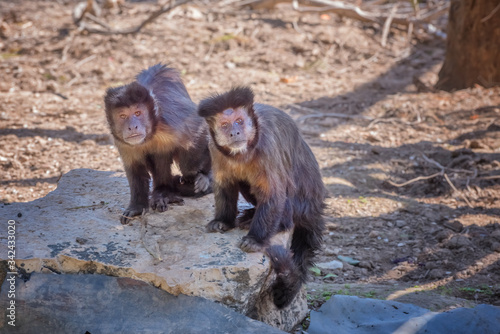 Tufted capuchin, brown capuchin, black-capped capuchin Fototapeta