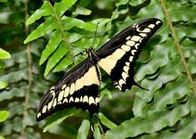 Mariposa Negra Y Amarilla Sobre Una Planta Verde  Marbella Andalucía España