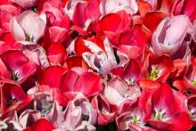 Flowerbed Of Spring Blooming T...