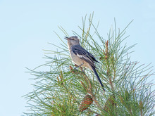 Northern Mockingbird Singing For A Mate