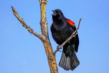 Red-winged Blackbird Sitting I...