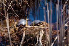 Two Turtle Sunbathing In The Wetlands Of Mer Bleue.