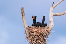 Double-crested Cormorant Sitti...
