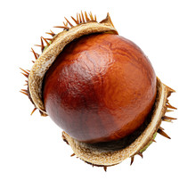 Chestnut On White Background