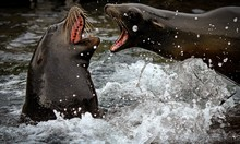 Close-up Of Sea Lions Fighting