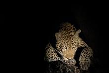 Leopard On Tree At Night