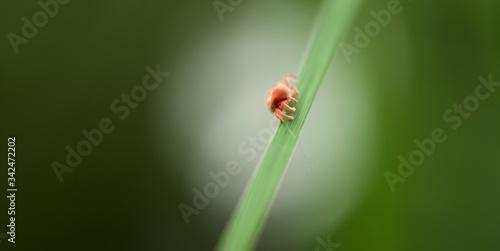 Photo Acarien rouge