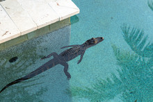 Baby Alligator In The Pool