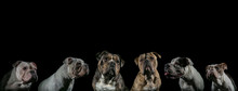 Close-up Of Bulldogs Against Black Background
