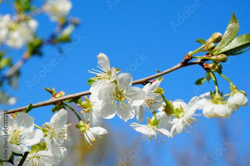 Gałązka kwitnącej wiśni w wiosennym słońcu Obraz na płótnie
